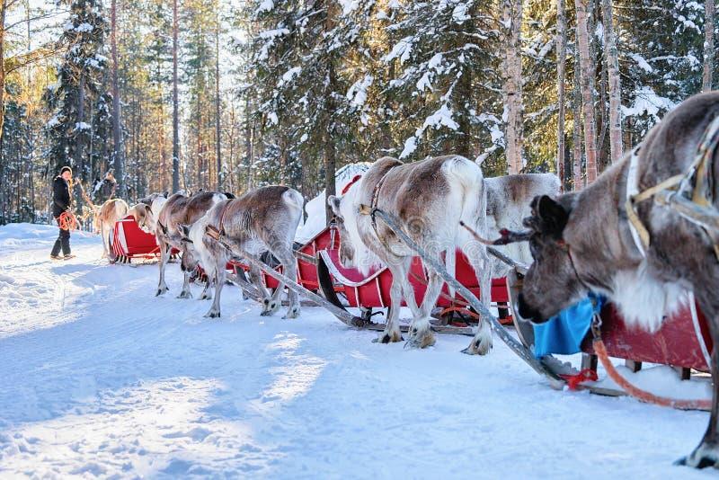 Caravana de montada do pequeno trenó da rena dos povos na floresta do inverno em Lapland imagem de stock