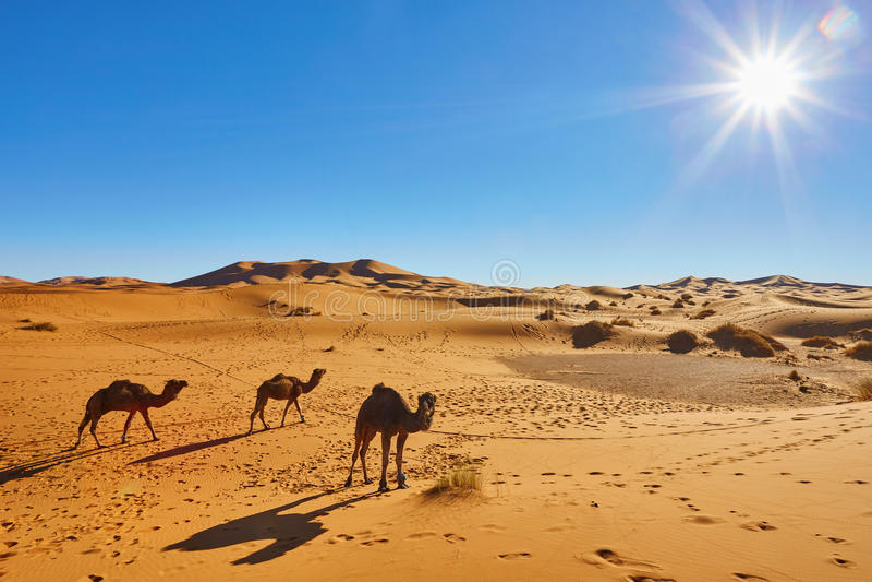 Caravana del camello que pasa a través de las dunas de arena en Sahara Desert imagen de archivo libre de regalías
