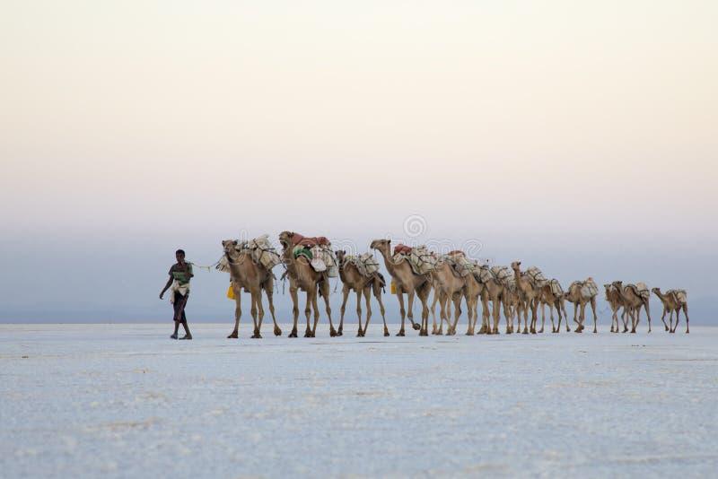 Caravana do camelo que transportam blocos de sal do lago Assale fotografia de stock