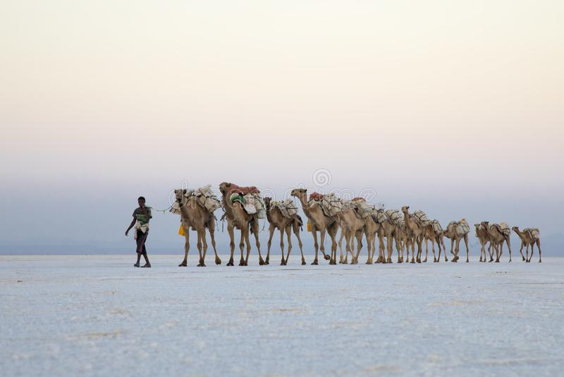 Caravanas del camello que transportan bloques de la sal del lago Assale fotografía de archivo