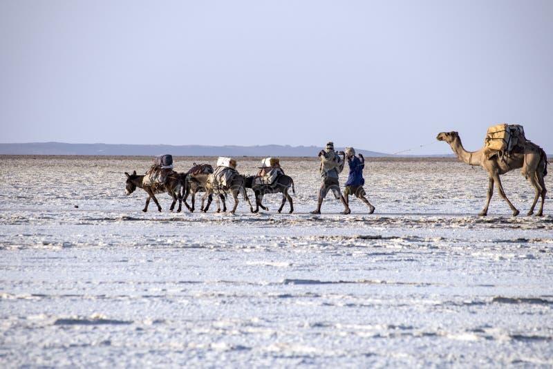 Caravanas que transportan bloques de la sal del lago Assale fotos de archivo libres de regalías