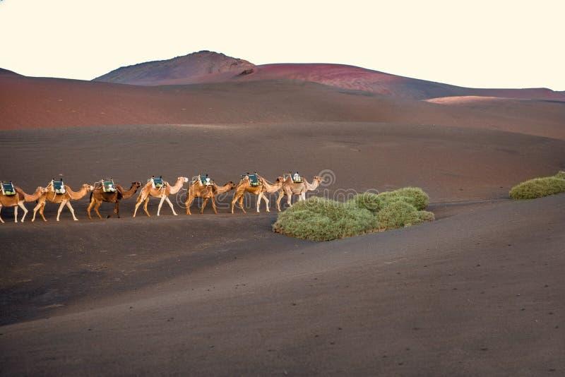 Caravane de chameaux marchant sur l'île de Lanzarote images libres de droits