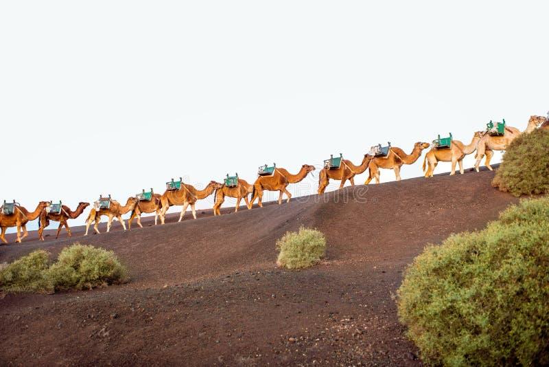 Caravane de chameaux marchant sur l'île de Lanzarote photos libres de droits