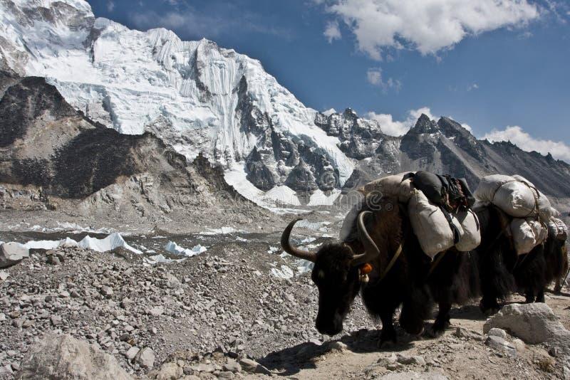Caravane de yaks allant au camp de base d'Everest image stock