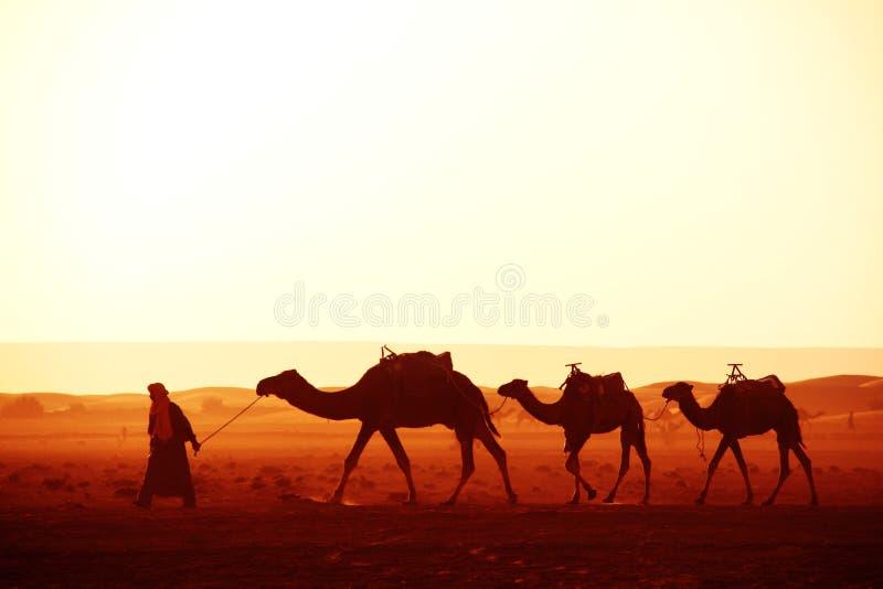 Caravane des chameaux dans le désert du Sahara, Maroc photo stock