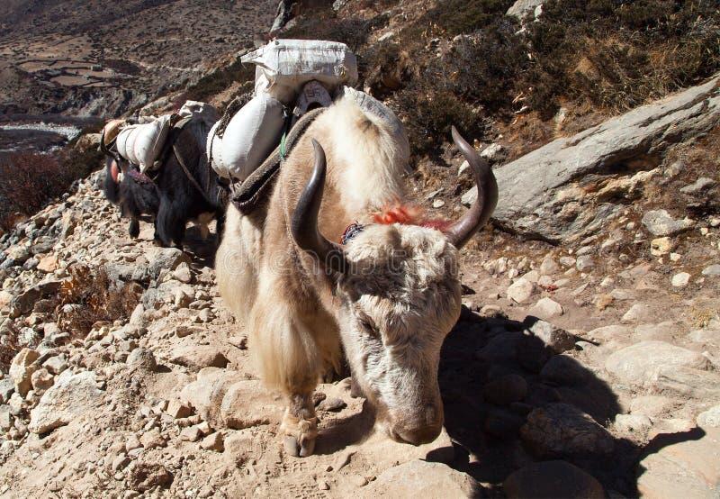 Caravane des yaks - montagnes de l'Himalaya du Népal image libre de droits