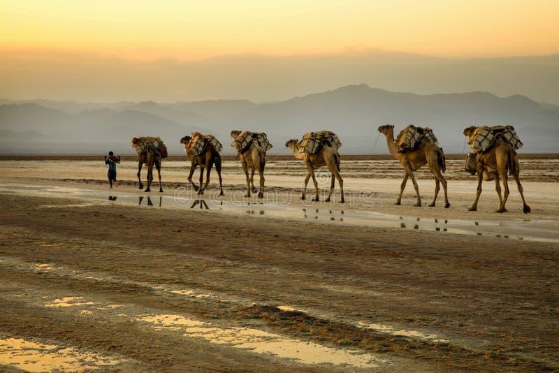 Caravanes de chameau transportant des blocs de sel de lac Assale images stock
