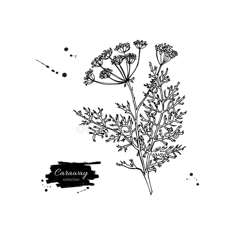 Caraway plant vector hand drawn illustration. Isolated spice vector illustration