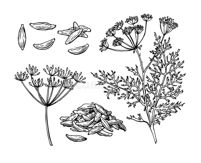 Caraway vector hand drawn illustration set. Isolated spice object royalty free illustration