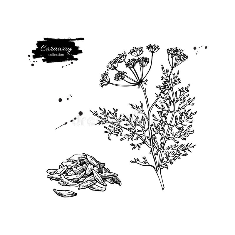 Caraway vector hand drawn illustration set. spice object. Engraved style seasoning. Detailed organic product sketch. Cooking flavor ingredient. Great for label stock illustration