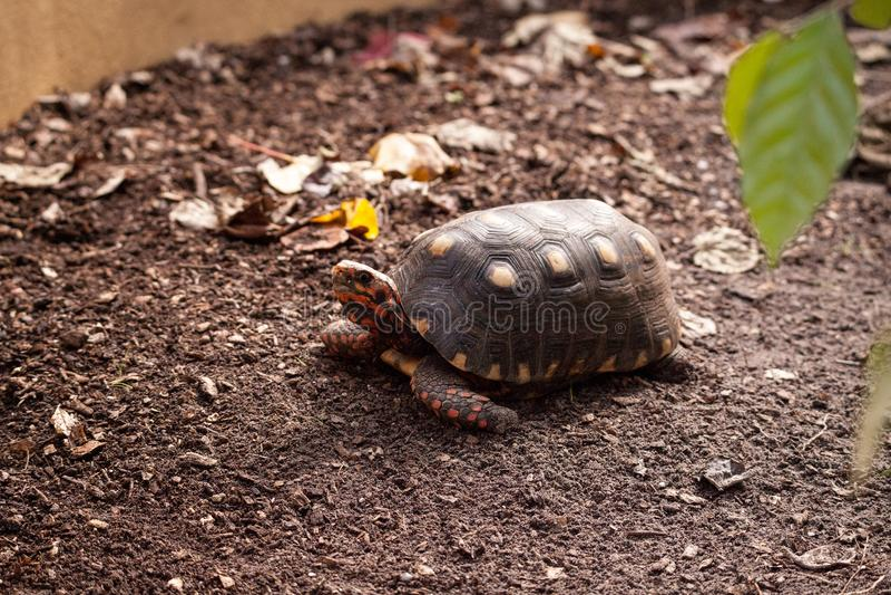 Carbonaria footed rosso di Chelonoidis della tartaruga fotografie stock libere da diritti