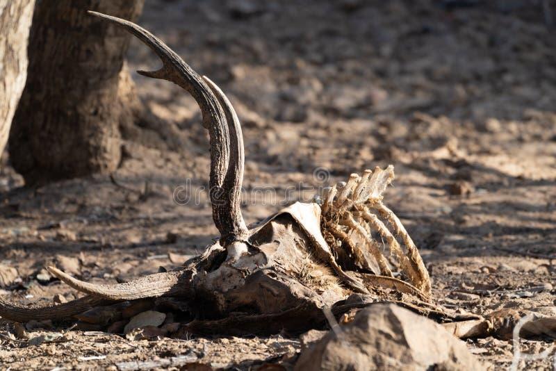 Carcaça morta e restos mortais de cervo no Parque Nacional de Ranthambore na Índia, provavelmente foram atacados e comidos por um foto de stock