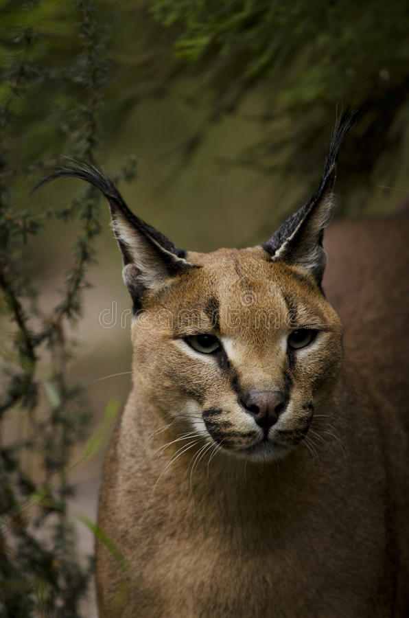 Download Carcal face stock image. Image of caracal, animal, ears - 19845619