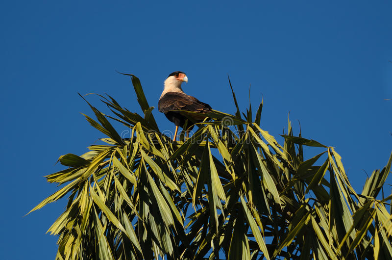 Carcara brasiliano (plancus del caracara) fotografie stock libere da diritti