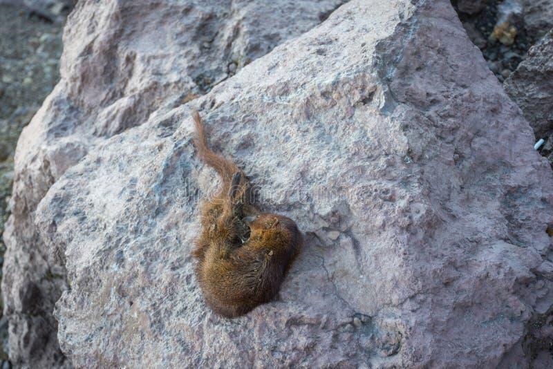 Carcassa dello scoiattolo che probabilmente assetata sulla traccia del supporto Raung Raung è il più provocatorio della montagna  fotografie stock