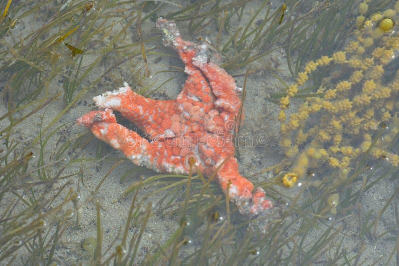 Carcasse d'étoile de mer orange image libre de droits