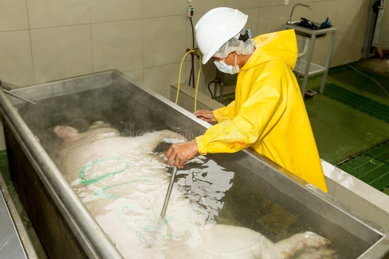 Carcasse de porcs dans le baquet de échaudage photo libre de droits