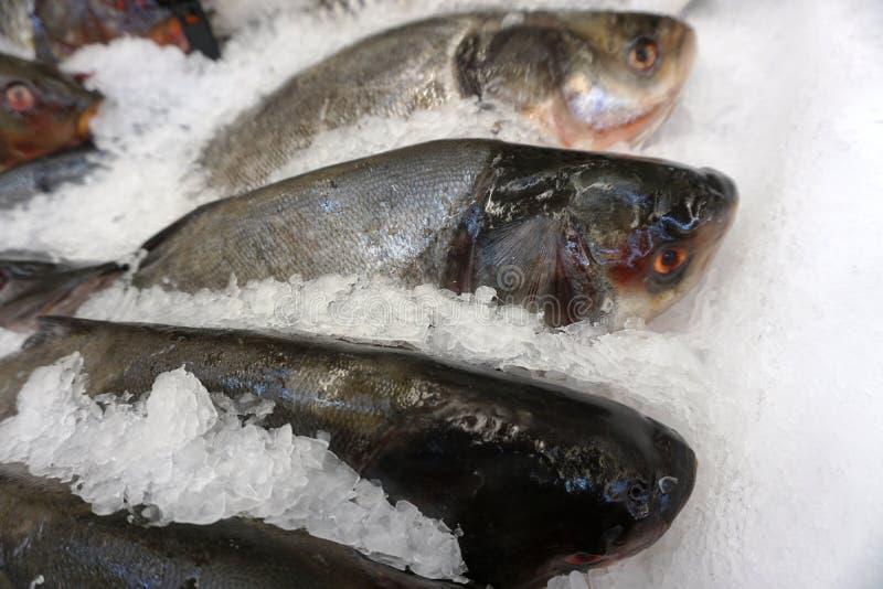 Carcasse del salmone del pesce fresco in briciola del ghiaccio fotografia stock libera da diritti