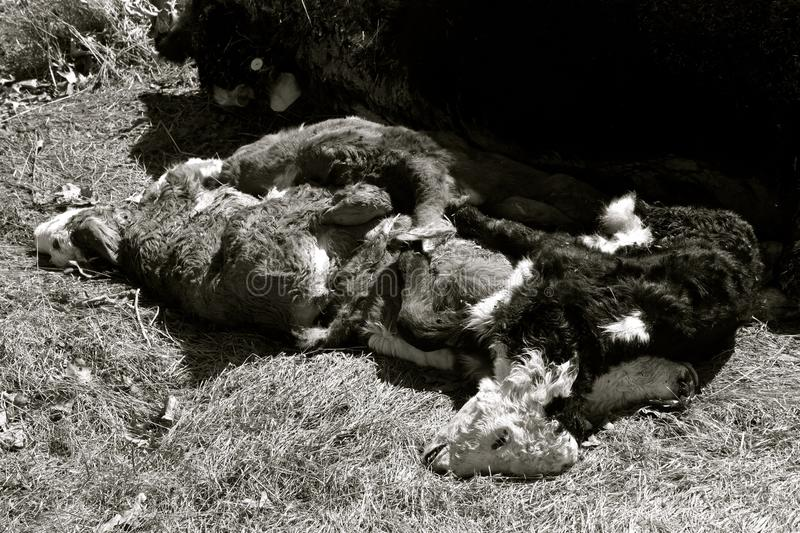 Carcasses of young beef Angus calves. Carcasses of spring beef Angus calves which lost their life at birth royalty free stock images