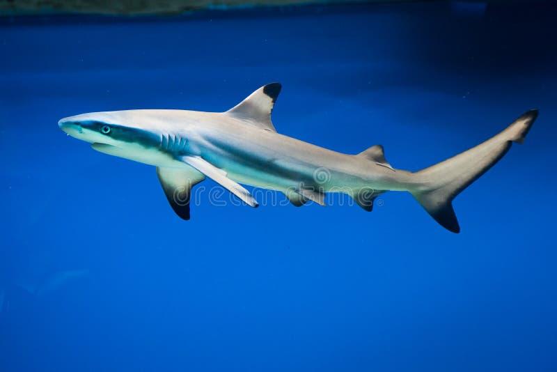 Carcharhinusmelanopterus - blacktiprevhaj royaltyfria bilder