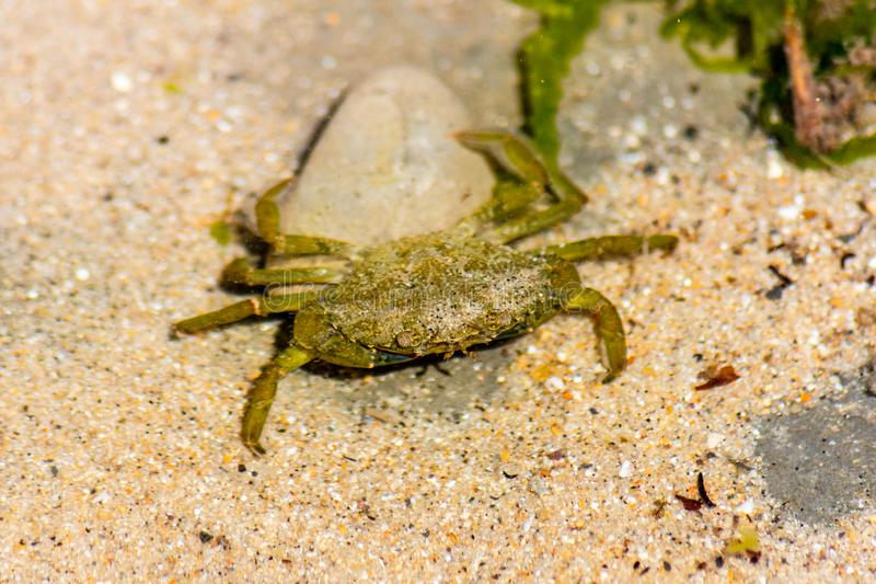 A small green shore crab Carcinus maenas seen in a shallow rock pool at Lyme Regis in Dorset royalty free stock photos