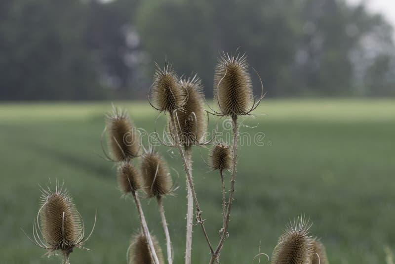 Cardère Seedheads sur le fond vert photographie stock