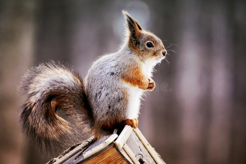 Card background, a close-uo photo of a squirrell. A close-up photo of a squirrel sitting on a feeder at the blurred background in the park. A card , desktop royalty free stock photos
