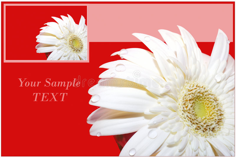 Card with herber flower. Red Card with Gerber flower royalty free stock image
