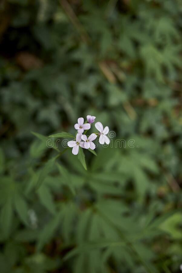 Cardamine bulbifera in bloom royalty free stock images