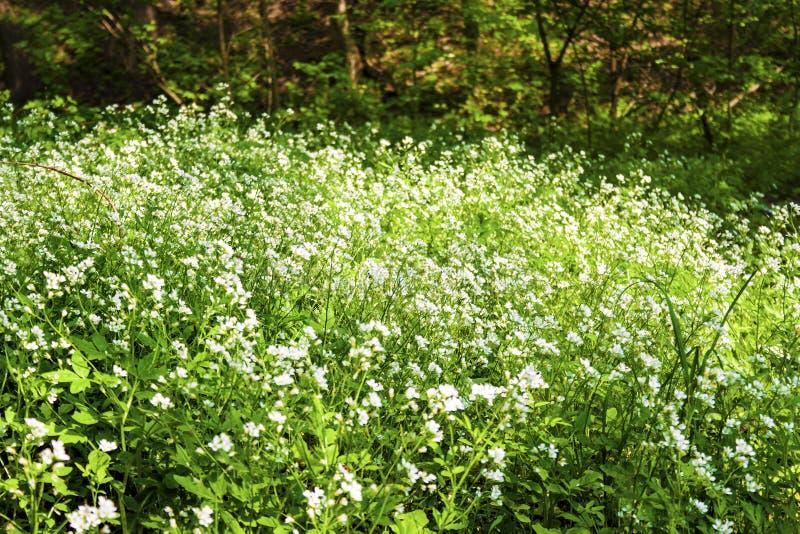 Cardamine grande di fioritura del amaro-crescione amara fotografia stock