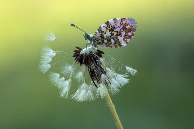 Cardamines d'Anthocharis - papillon journalier photo libre de droits