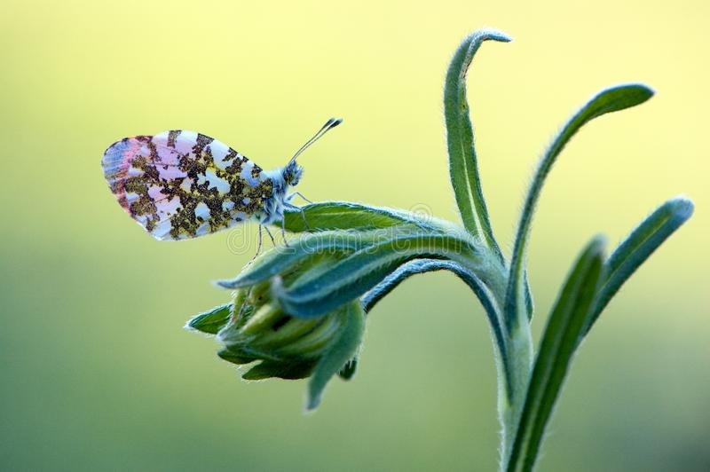 Cardamines d'Anthocharis - papillon journalier photo stock