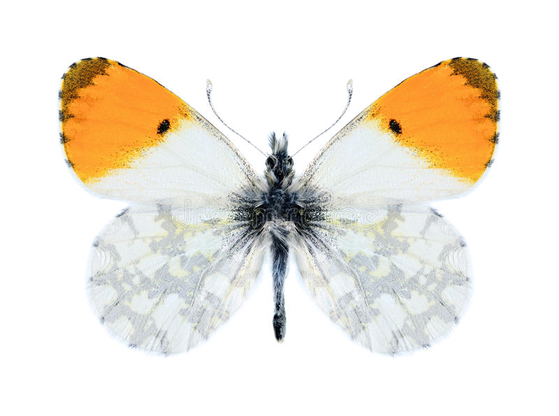 Cardaminesphoenissa van vlinderanthocharis (mannetje) royalty-vrije stock fotografie