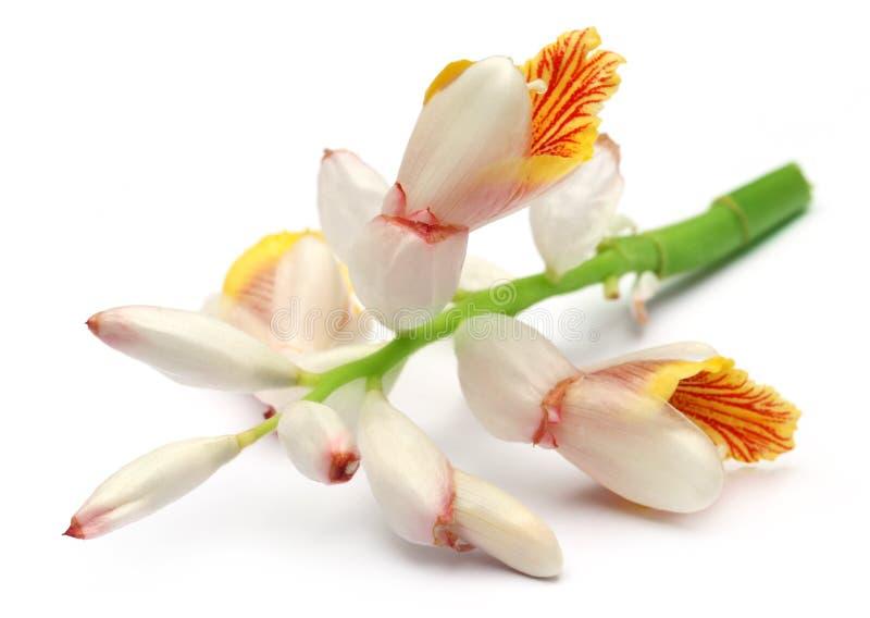 Cardamom flower. Over white background royalty free stock photo