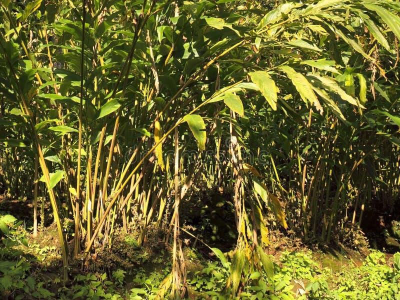 Cardamom plantation royalty free stock photo