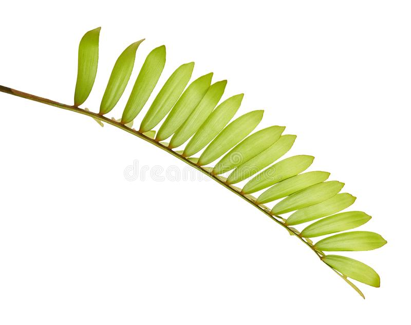Cardboard palm or Zamia furfuracea or Mexican cycad leaf, Tropical foliage isolated on white background, with clipping path. Cardboard palm or Zamia furfuracea royalty free stock photo
