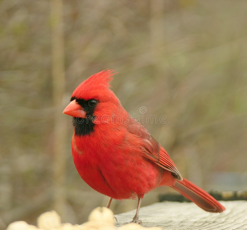 Download Cardeal 2 foto de stock. Imagem de pássaro, madeiras, wildlife - 112944