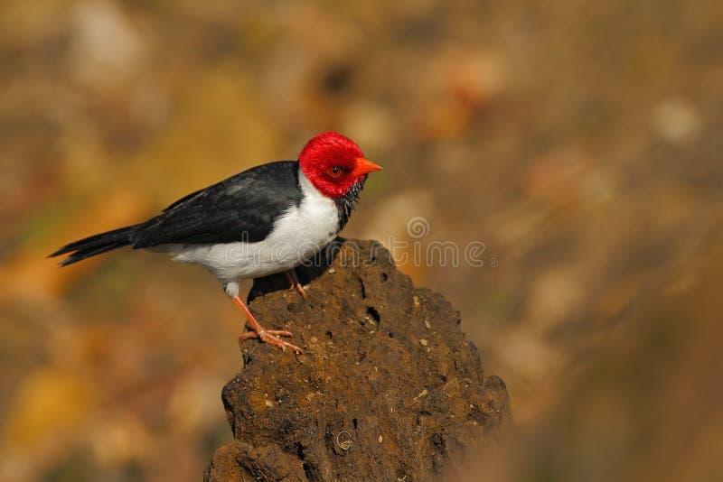 cardeal Amarelo-faturado, capitata de Paroaria, pássaro preto e branco da música com a cabeça vermelha, sentando-se no tronco de  fotografia de stock royalty free