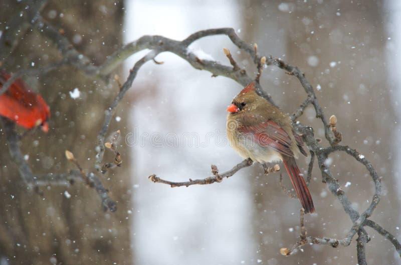 Download Cardeal do norte fêmea foto de stock. Imagem de pássaro - 12806334