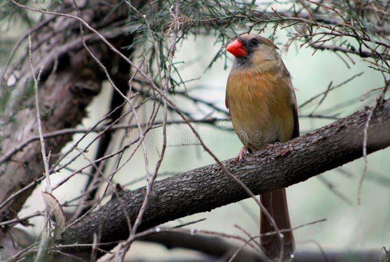 Cardeal do norte fêmea, redbird, cardinalis dos cardinalis imagens de stock