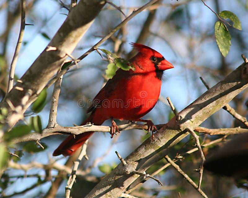 Cardeal masculino no shrubland do sul de Texas imagem de stock royalty free