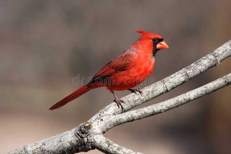 Cardeal vermelho brilhante fotos de stock