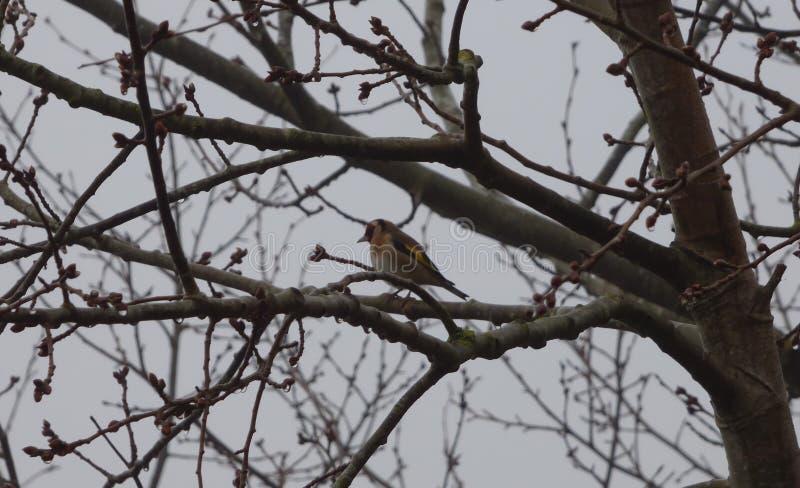Cardellino in albero - Regno Unito fotografia stock