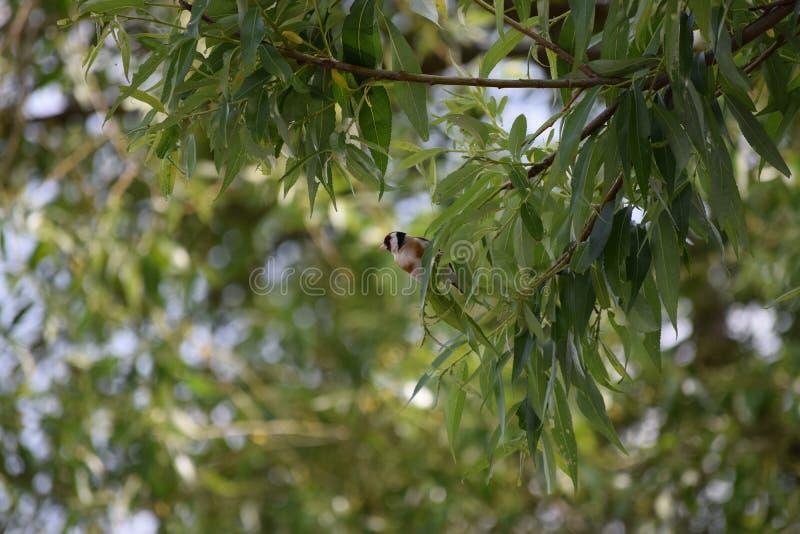 Cardellino nell'albero fotografia stock libera da diritti