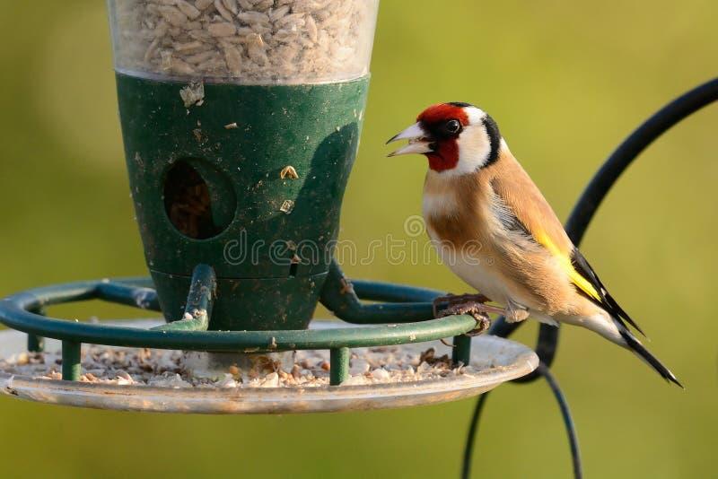 Cardellino su un alimentatore dell'uccello immagini stock