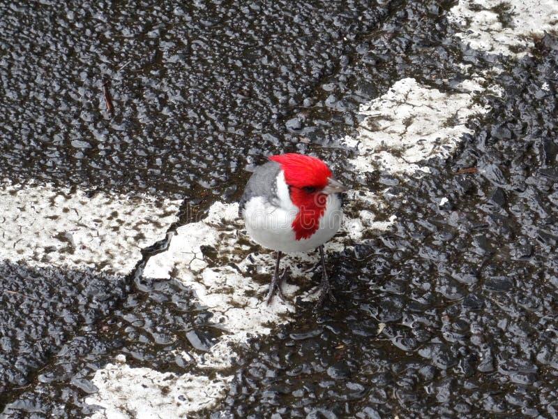 Cardenal con cresta rojo en Maui, Hawaii fotos de archivo libres de regalías