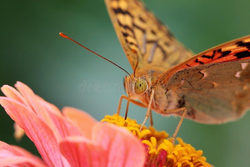 Cardenal de la mariposa imagen de archivo