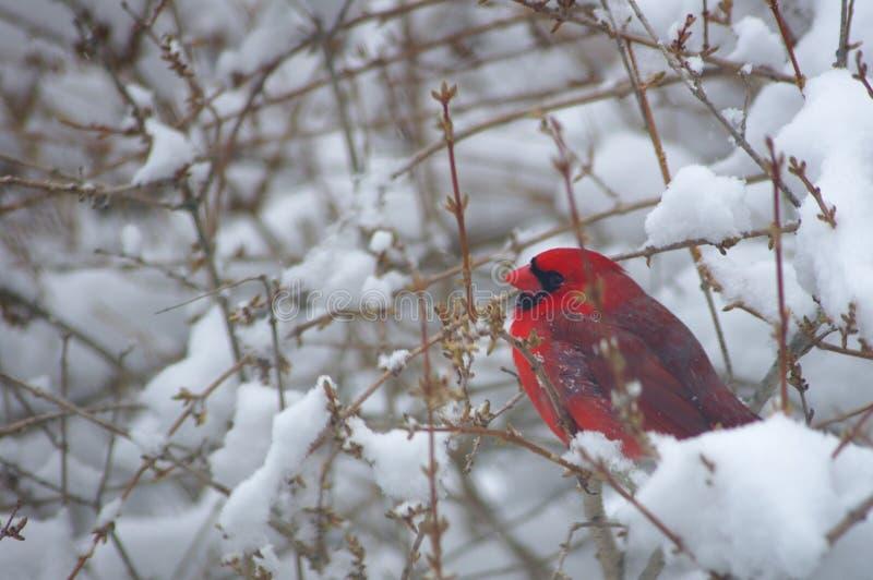 Cardenal en un Nevado Bush imágenes de archivo libres de regalías