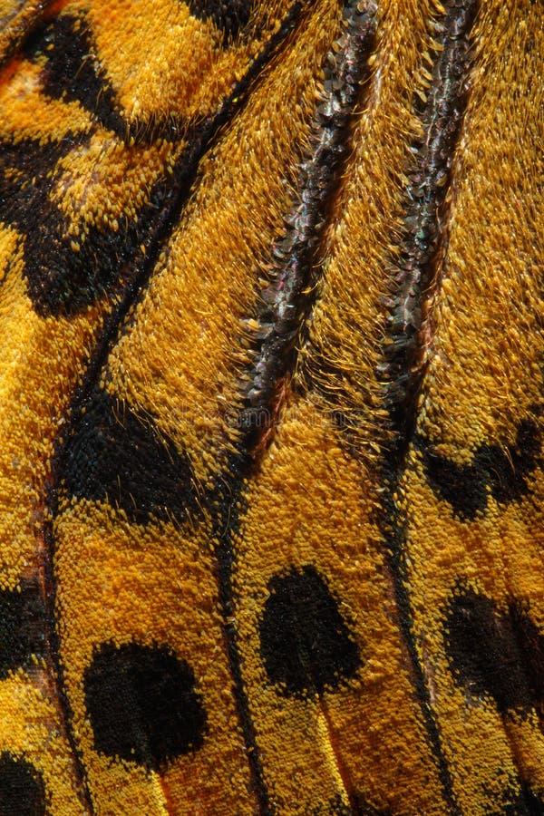 Cardenal, modelo del ala de la mariposa de Pandora del Argynnis fotografía de archivo