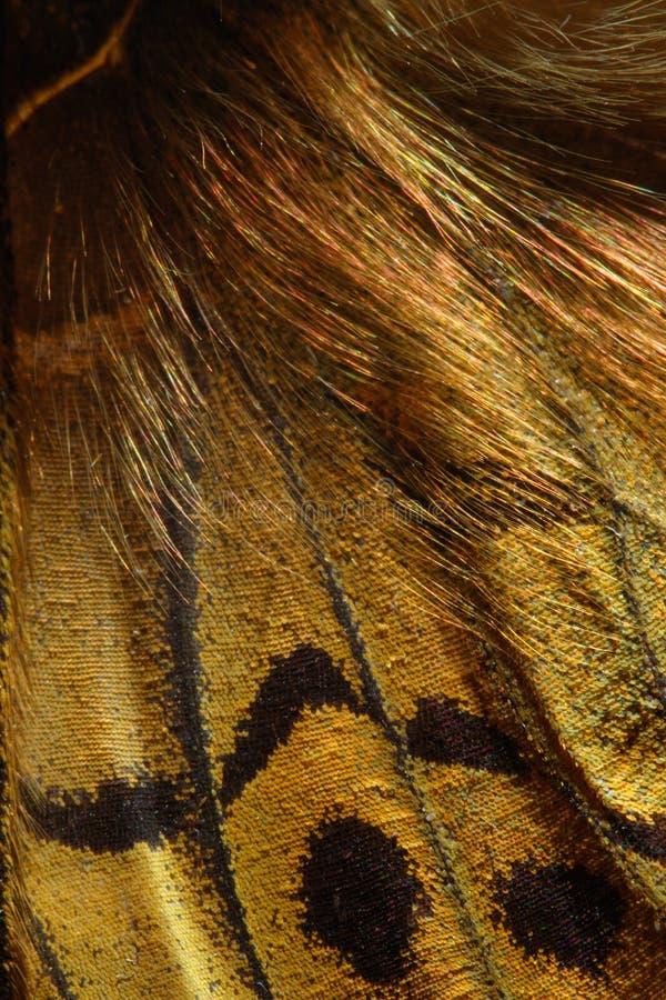 Cardenal, modelo del ala de la mariposa de Pandora del Argynnis imagenes de archivo